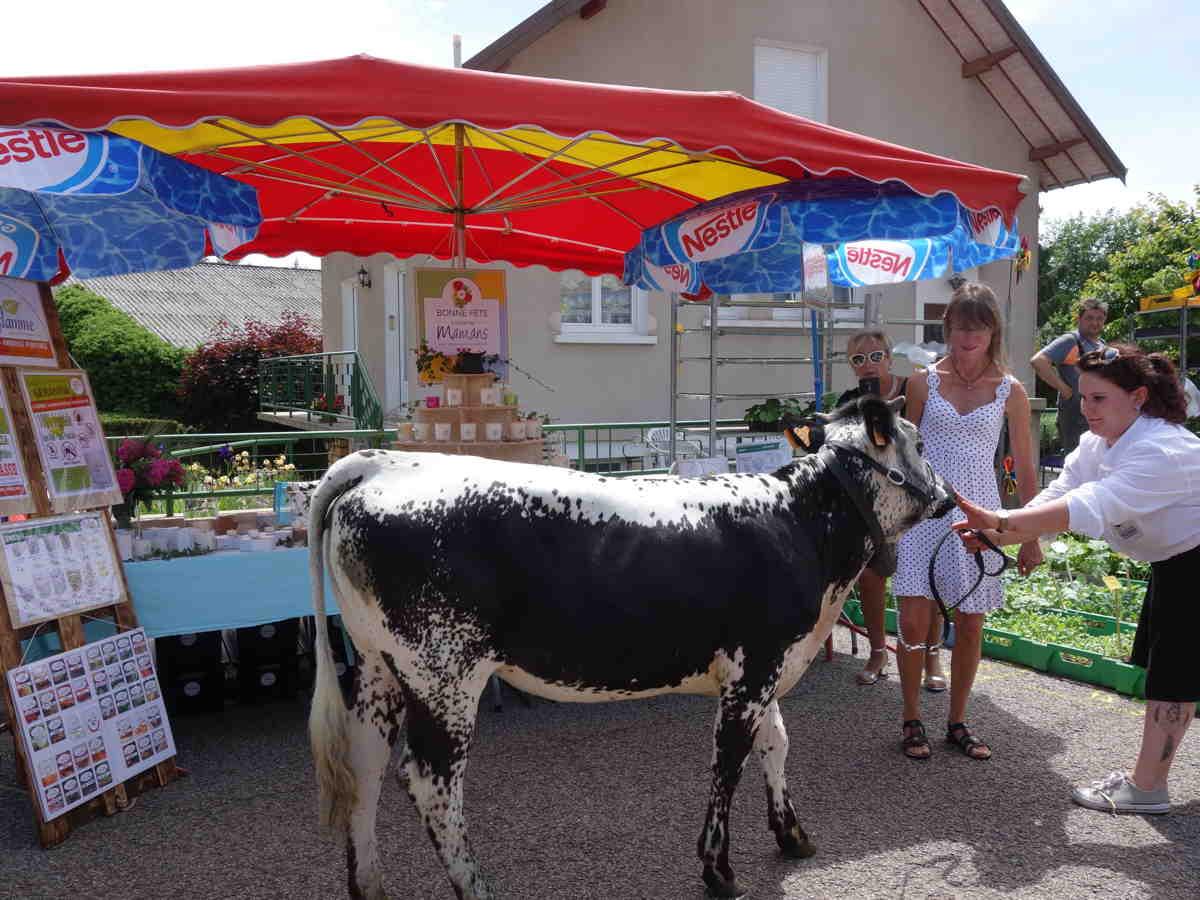 Vache vosgienne qui ne voulais plus partir du satnd